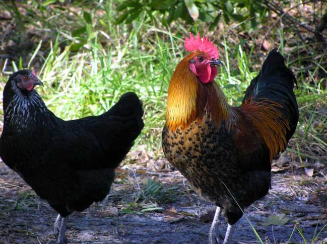 hen-and-rooster.jpg