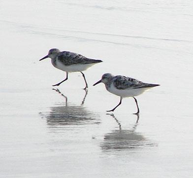 sanderlings-2.jpg