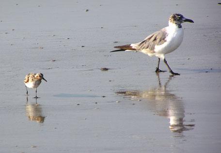 seagull-and-sanderling.jpg