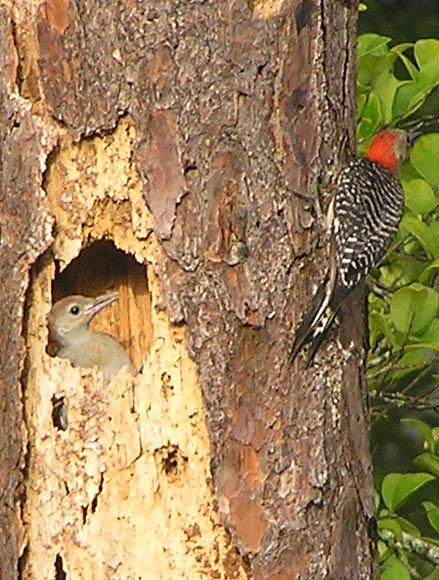 woodpecker-11.jpg