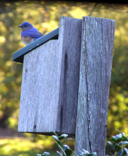 male bluebird on nesting box