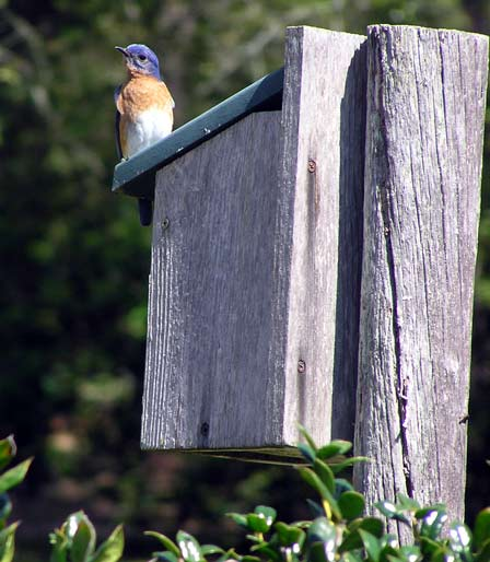 male eastern bluebird late afternoon