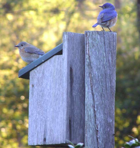 male and female bluebird on nesting box