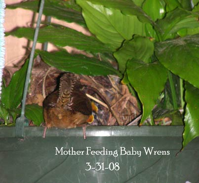 Mother wren feeding babies